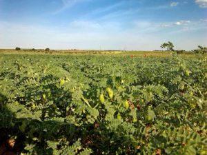 Cultivo Ecologico Garbanzos Pedrosillano