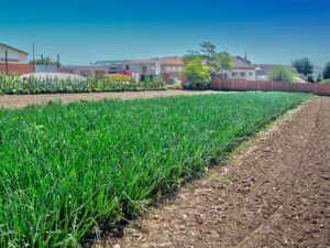 Huerto Ecológico 2011 (Ajos)